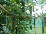 árvores de pepinos