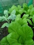 couve e salada orgânico