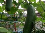 pepinos orgânicos