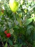 Essa árvore de pimentão bate recorde, dois pé não consigo consumir tudo que ela produz.