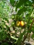plantado com composto produzido na composteira