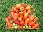 (tomate e pimentão da minha pequena horta caseira).