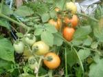 tomates local orgânico