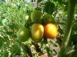 tomates orgânicos 2012