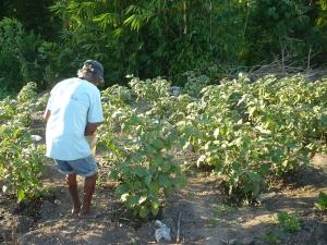 irrigando sua plantação de beringela