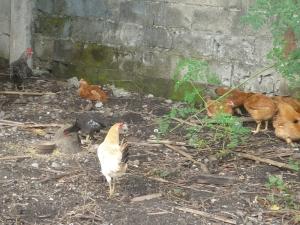 galinha caipiras